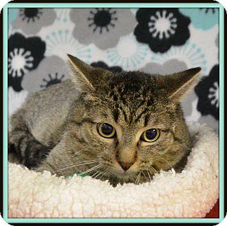 Domestic Shorthair Cat for adoption in Glendale, Arizona - Flash