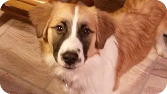 Collie Mix Puppy for adoption in Villa Hills, Kentucky - Lucy