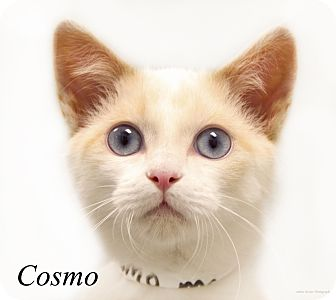 Siamese Kitten for adoption in Martinsville, Indiana - Cosmo
