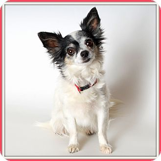 Chihuahua Mix Dog for adoption in Glendale, Arizona - Marigold