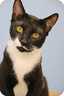 Domestic Shorthair Cat for adoption in Gloucester, Massachusetts - Shashimi