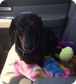Dachshund Dog for adoption in Homer, New York - Mega