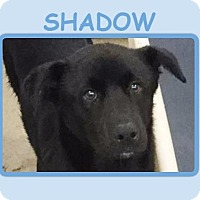 Adopt A Pet :: SHADOW - Dallas, NC