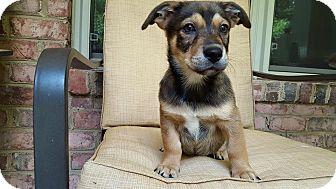 Corgi Mix Puppy for adoption in Harrisburg, North Carolina - Columbus