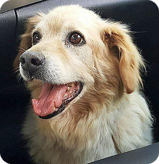 Golden Retriever Mix Dog for adoption in BIRMINGHAM, Alabama - Freddie
