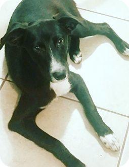 Border Collie/Labrador Retriever Mix Dog for adoption in Memphis, Tennessee - Buddy