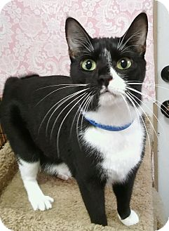 Domestic Shorthair Cat for adoption in Witter, Arkansas - Felicia (sister of Fiona)