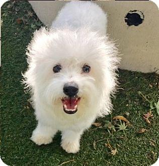 Maltese Mix Dog for adoption in Castro Valley, California - Shasta