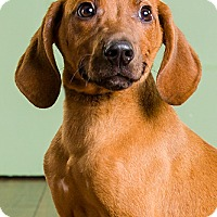Adopt A Pet :: Red - Owensboro, KY