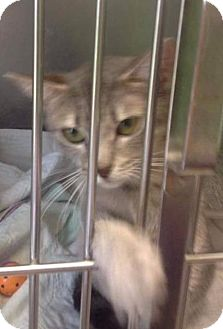 Domestic Shorthair Cat for adoption in Freeport, New York - Marina