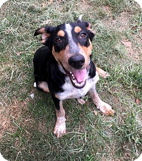 Blue Heeler/Shepherd (Unknown Type) Mix Dog for adoption in Denver, Colorado - Rocco