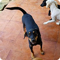 Adopt A Pet :: Carom - Osseo, MN