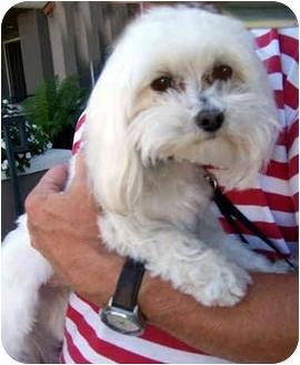Maltese Dog for adoption in Los Angeles, California - SKIPPER