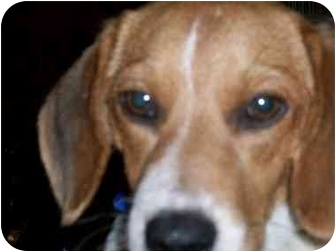 Beagle Puppy for adoption in Ventnor City, New Jersey - STIMPY
