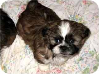 Shih Tzu Puppy for adoption in Fort Wayne, Indiana - Shih Tzu Boys