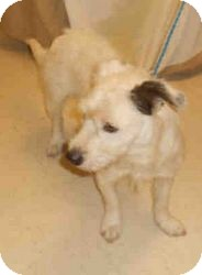 Parson Russell Terrier Mix Dog for adoption in Yuba City, California - 10/5 Unnamed