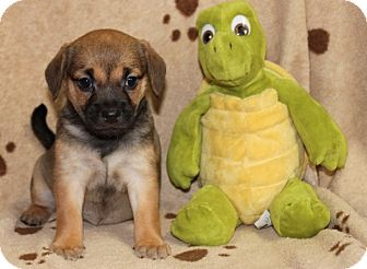 Beagle Mix Puppy for adoption in Salem, New Hampshire - Wrangler Jane