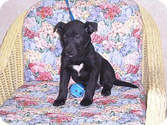 """Pit Bull Terrier Mix Puppy for adoption in New Castle, Pennsylvania - """" Carrie"""""""