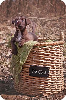 Labrador Retriever Mix Puppy for adoption in Salem, Massachusetts - Mr. Owl