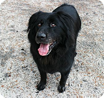 Flat-Coated Retriever Dog for adoption in Forked River, New Jersey - Murphy