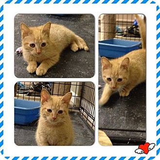 Domestic Shorthair Cat for adoption in Washington, D.C. - Morris