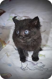 Domestic Shorthair Kitten for adoption in Xenia, Ohio - Billy