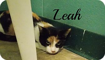 Domestic Shorthair Cat for adoption in Defiance, Ohio - Leah