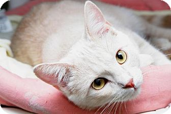 Domestic Shorthair Cat for adoption in Parkville, Missouri - Grigsby