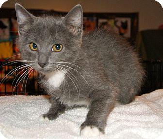 Domestic Shorthair Kitten for adoption in Parkville, Missouri - Danny