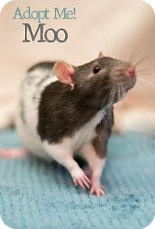 Rat for adoption in West Des Moines, Iowa - Moo