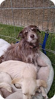 Welsh Terrier/Fox Terrier (Wirehaired) Mix Dog for adoption in Simi Valley, California - Latte