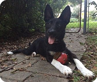 Akita/Shepherd (Unknown Type) Mix Puppy for adoption in Savannah, Georgia - Divenia