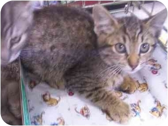 Abyssinian Cat for adoption in LosAngeles, California - Imp