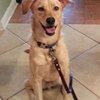 Chihuahua/Golden Retriever Mix Dog for adoption in Royal Palm Beach, Florida - Peanut