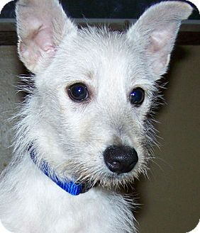 Westie, West Highland White Terrier Mix Puppy for adoption in Hastings, Minnesota - Eleanor