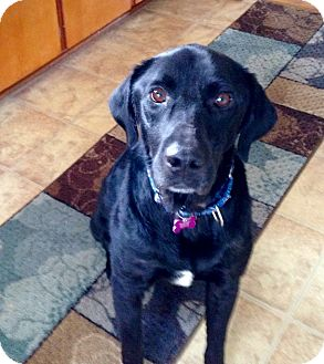 Labrador Retriever Dog for adoption in Mentor, Ohio - RICKY***LAB LOVE!!!