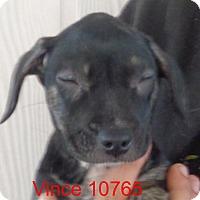 Adopt A Pet :: Vince - Greencastle, NC
