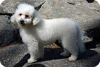 Bichon Frise/Poodle (Miniature) Mix Dog for adoption in Mountain Center, California - Ty