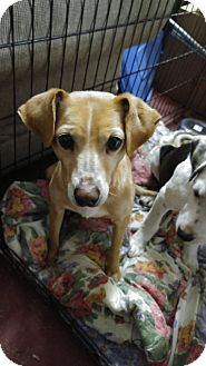 Terrier (Unknown Type, Medium) Mix Dog for adoption in Jarrell, Texas - Stella