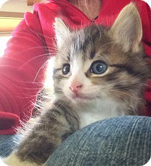 Maine Coon Kitten for adoption in Ypsilanti, Michigan - Drogon