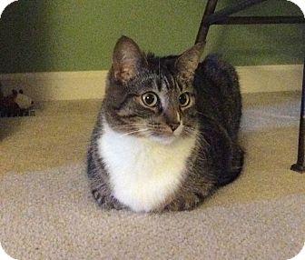 Domestic Shorthair Cat for adoption in Toledo, Ohio - Kyla