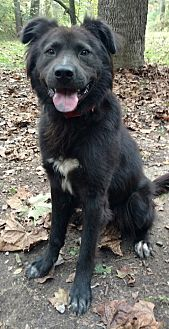 Border Collie Mix Dog for adoption in Capon Bridge, West Virginia - Chaucer