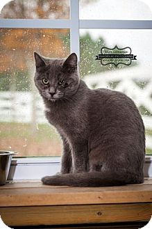 Domestic Shorthair Kitten for adoption in Monterey, Virginia - Biscuit