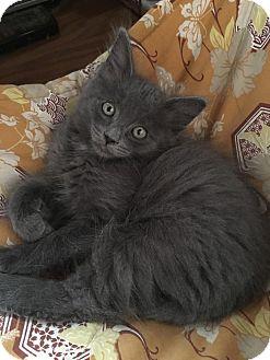 Domestic Mediumhair Kitten for adoption in Yorba Linda, California - Jingle Jorgie
