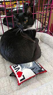 American Shorthair Kitten for adoption in Nuevo, California - Fancy Nancy