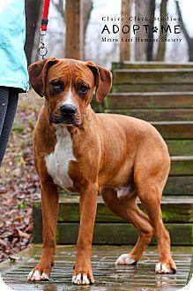 Boxer/Labrador Retriever Mix Dog for adoption in Edwardsville, Illinois - Fitz