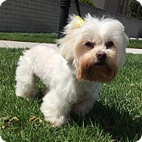 Maltese/Poodle (Miniature) Mix Dog for adoption in Long Beach, California - Happy
