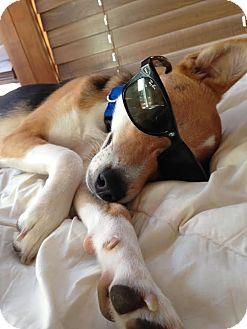 Hound (Unknown Type) Dog for adoption in Monroe, New Jersey - Abhi-Indian Pariah Dog*URGENT