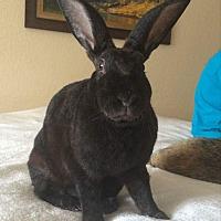 Rex Mix for adoption in West Palm Beach, Florida - Black bean