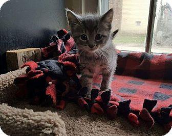 Domestic Shorthair Kitten for adoption in Salamanca, New York - Two Paws (Adoption Pending)